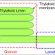 Figure 4. Thylakoid structures