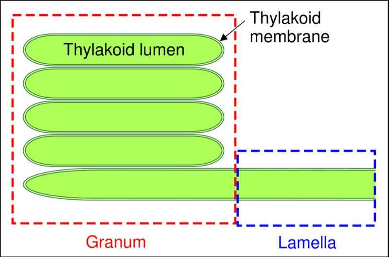 The Thylakoid