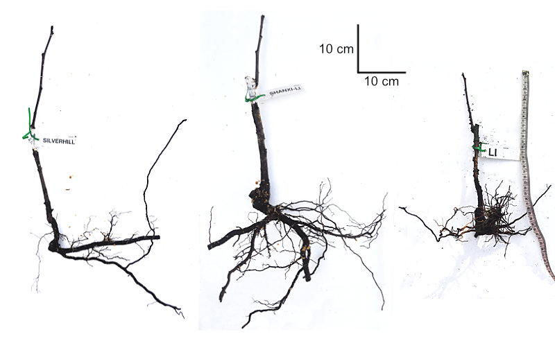Examples of bare-rooted jujube trees