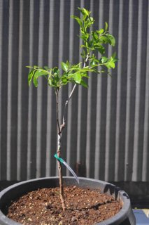 Sherwood Jujube Tree