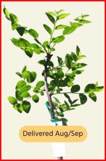 Ta-Jan Jujube Tree